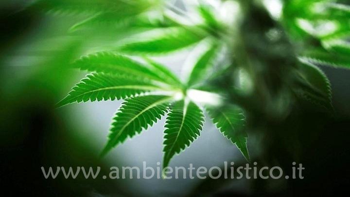 Cannabis Sativa: Effetto Terapeutico o Dipendenza